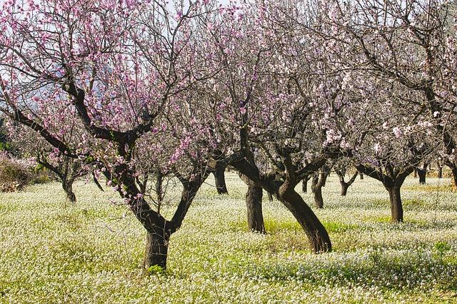 provincia de alicante - almendros en flor